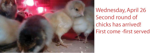 Chicks-are-here!.jpg