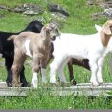 high-pocket-goatss