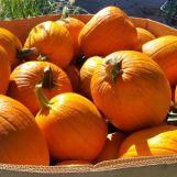 pumpkins-copy